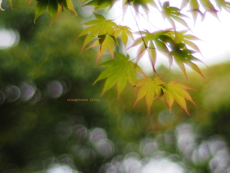 たまボケ新緑楓.jpg