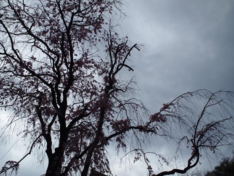 古老の桜.jpg