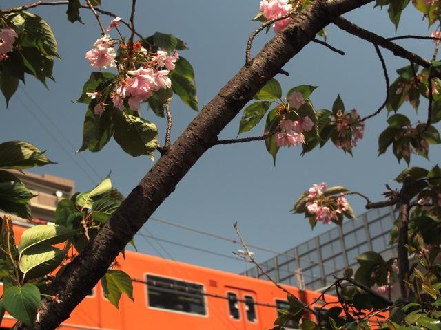 天満桜.jpg