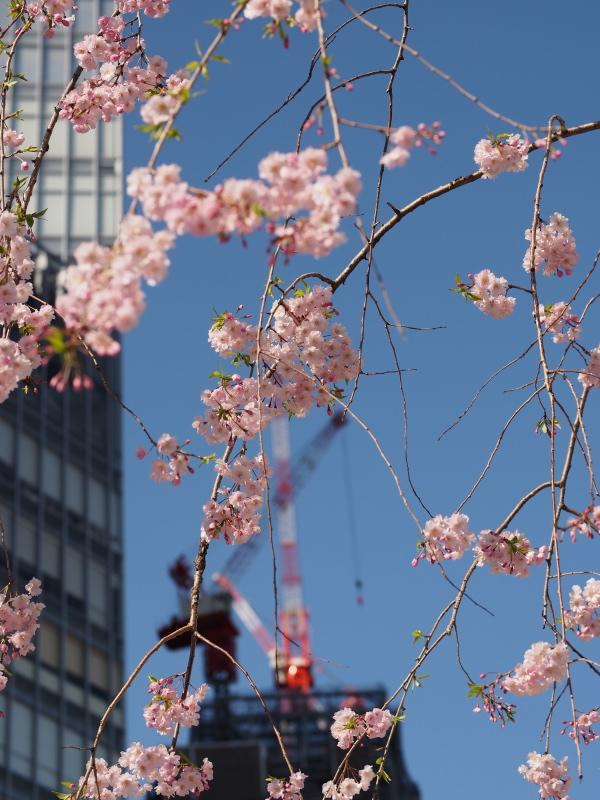 桜東京2.jpg