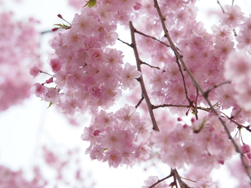 桜東京5.jpg