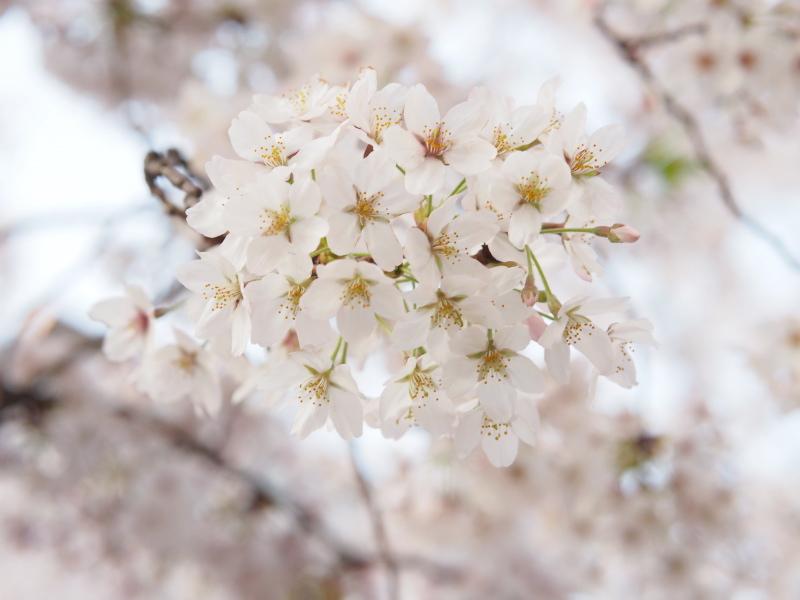 桜東京6.jpg