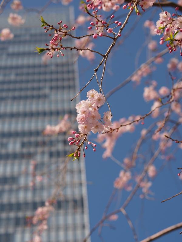 桜東京1.jpg