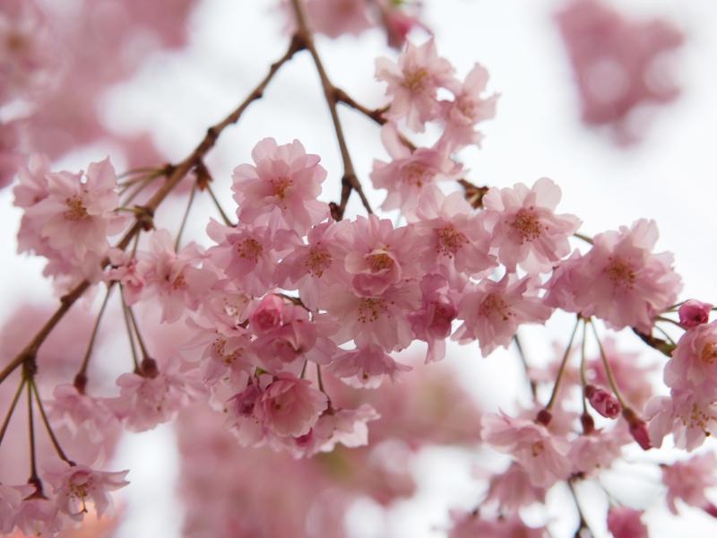 桜東京4.jpg