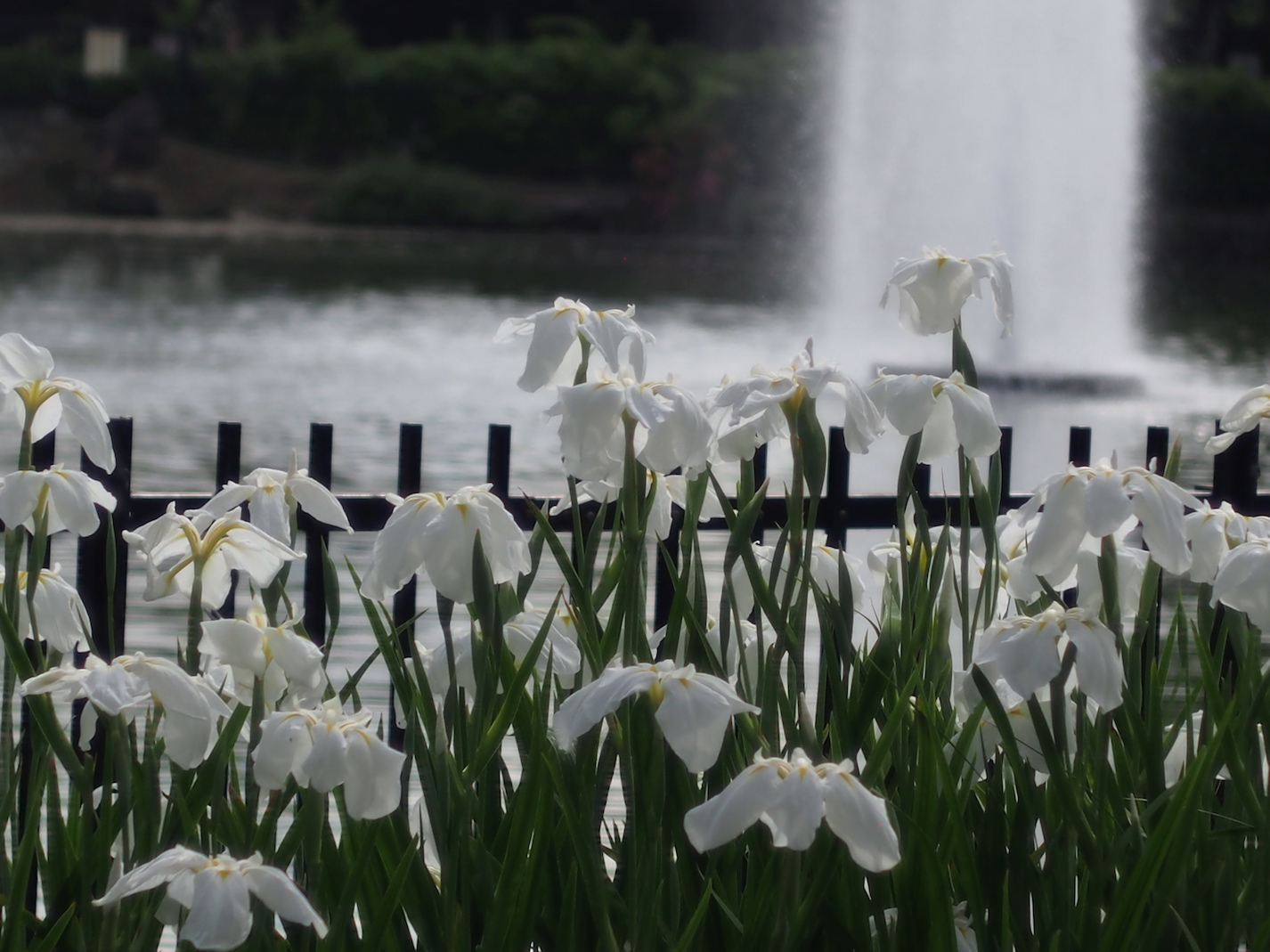 菖蒲水月公園4.jpg
