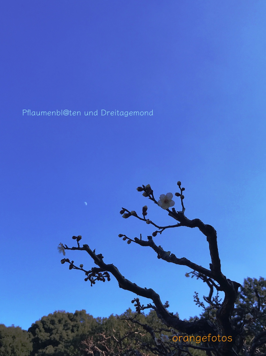 Pflaumen Mond.jpg