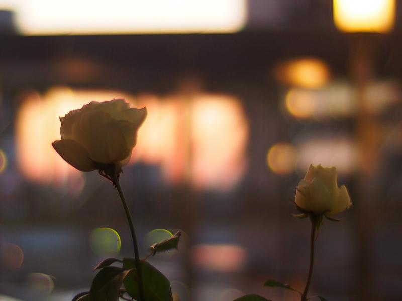 Rosen in Abendrot.jpg