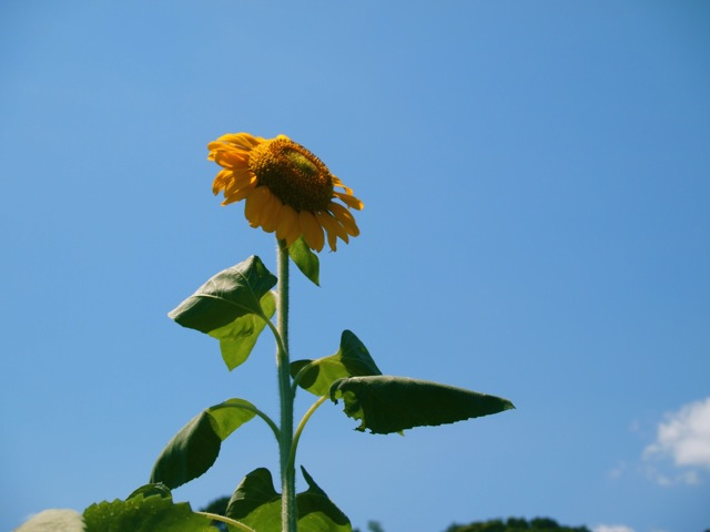 Sonnenblume3.jpg