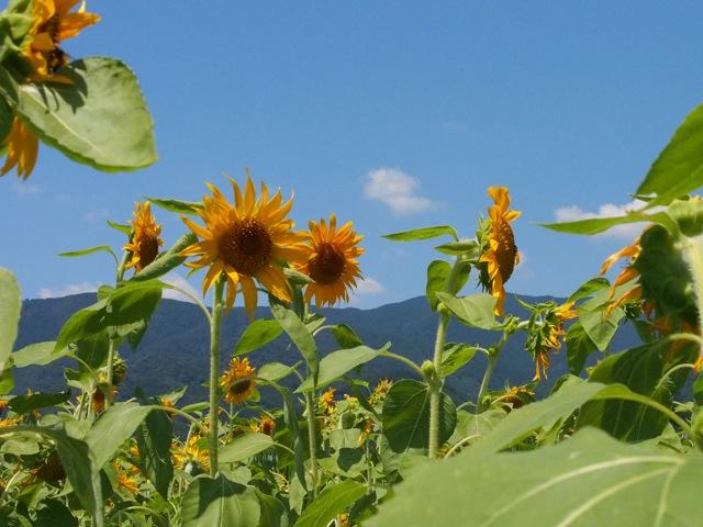 Sonnenblume4.jpg