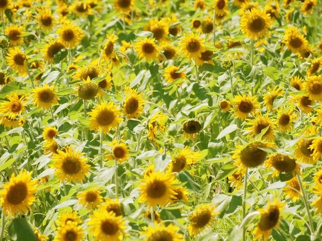 Sonnenblumen1.jpg