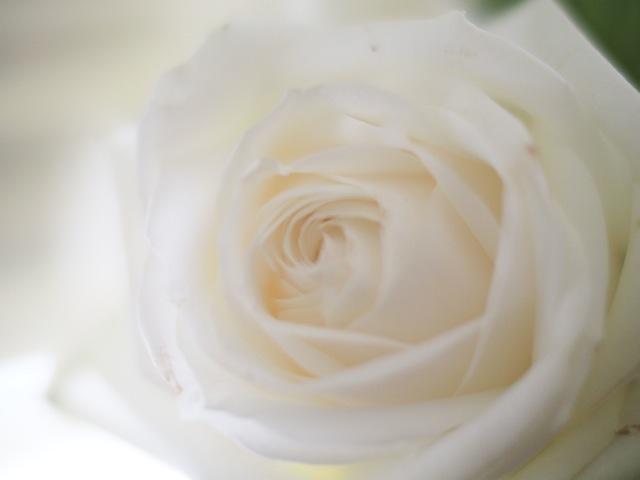 Weisse Rose.jpg