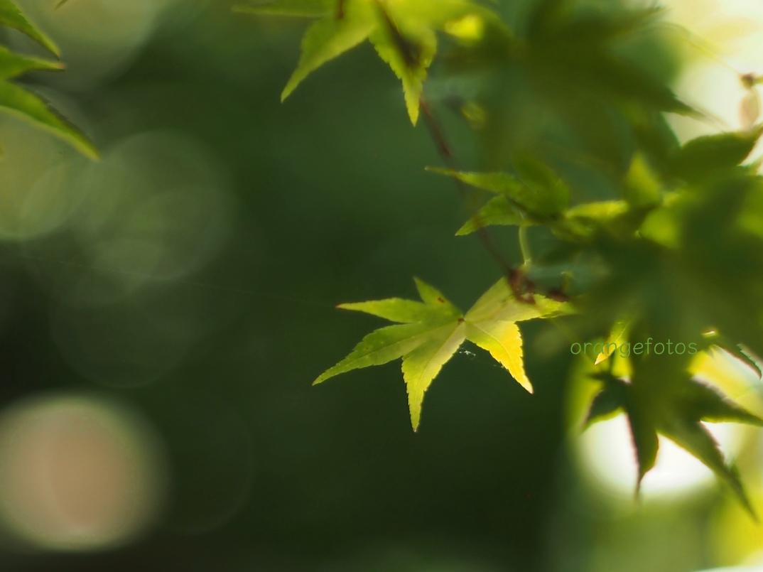 grüne Ahornblätter.jpg