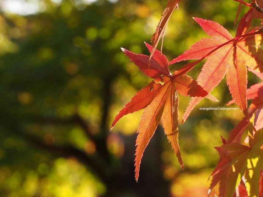 rote Ahornblätter.jpg