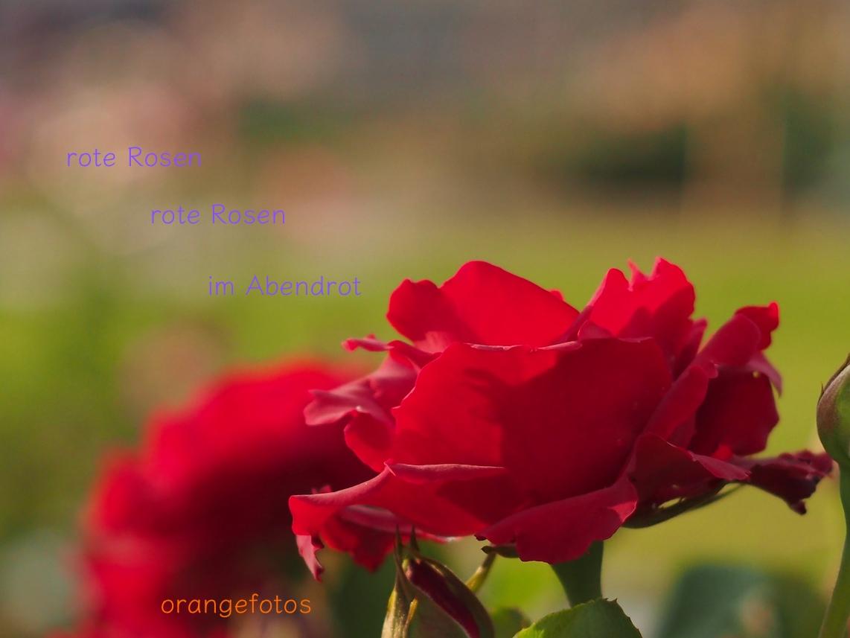 rote Rose.jpg