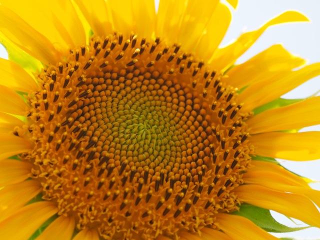 sonnenblume11.jpg